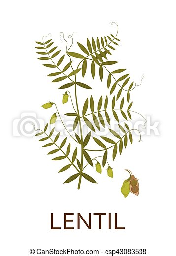 Lentil plant with leaves and pods. Vector illustration. - csp43083538