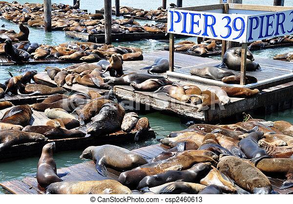 Leones marinos - csp2460613