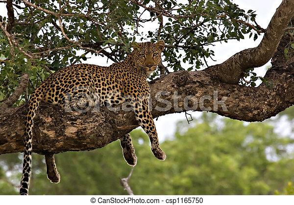 Leopard in a tree - csp1165750
