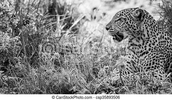 Leopard in the grass in black and white in the Kruger National Park, South Africa. - csp35893506