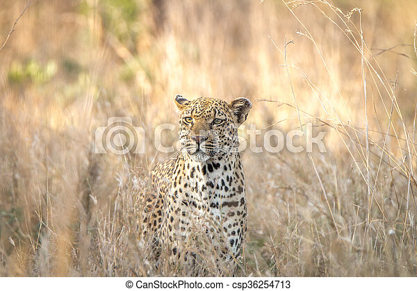 Leopard in the grass in the Kruger National Park. - csp36254713