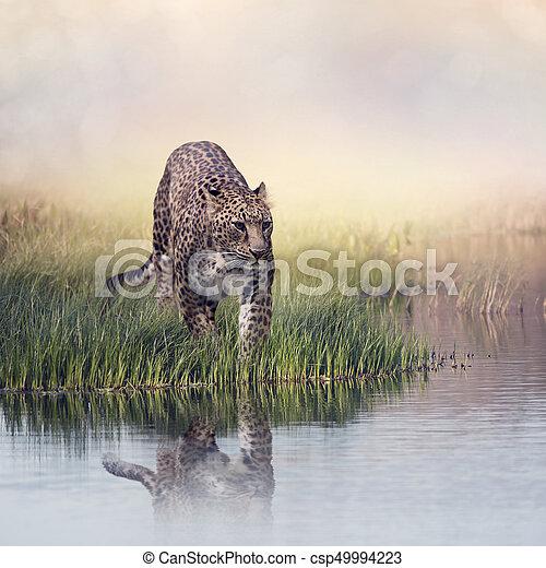 Leopard in the grass near water - csp49994223