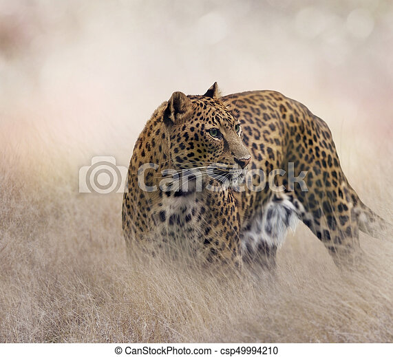 Leopard in the grass - csp49994210