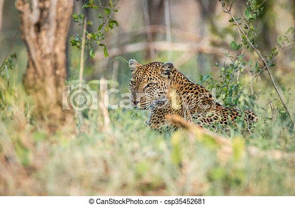Leopard in the grass - csp35452681