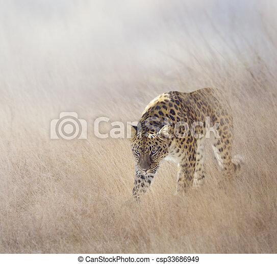 Leopard in The Grass - csp33686949