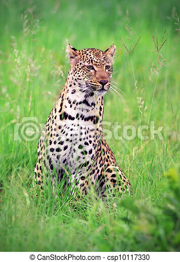 Leopard in the grass - csp10117330