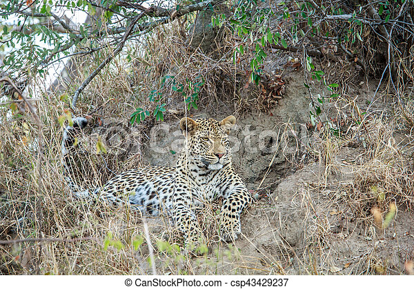 Leopard laying in the grass. - csp43429237