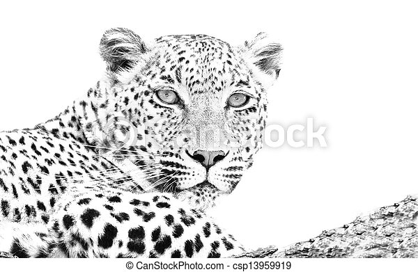 Leopard lying in tree high key - csp13959919