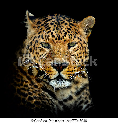 Leopard on dark background - csp77017946