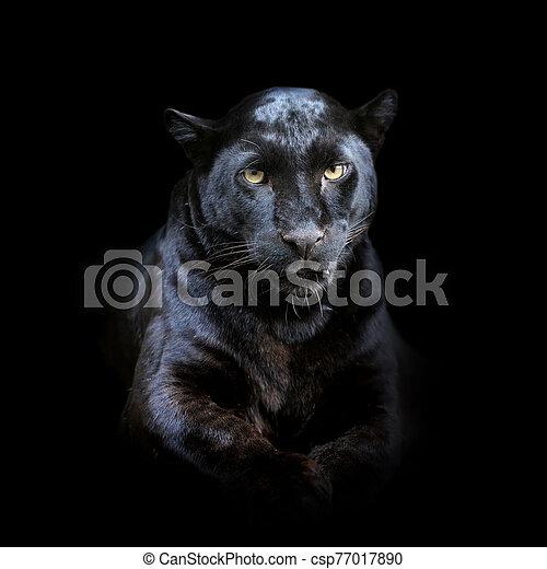 Leopard on dark background - csp77017890