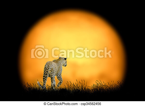 Leopard on the background of sunset - csp34562456