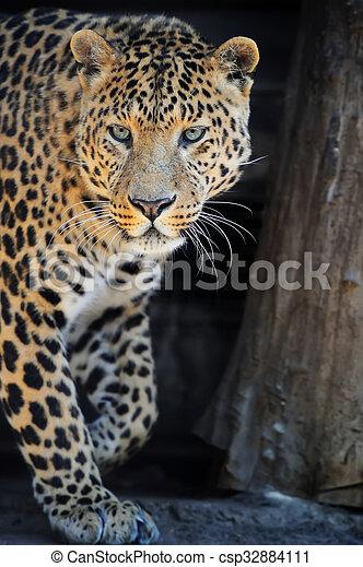 Leopard portrait on dark background - csp32884111