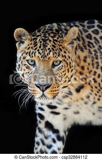 Leopard portrait on dark background - csp32884112
