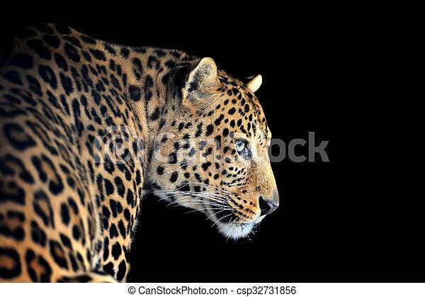 Leopard portrait on dark background - csp32731856