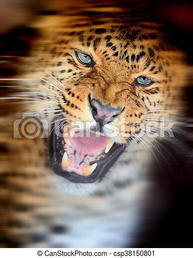 Leopard portrait on dark background - csp38150801