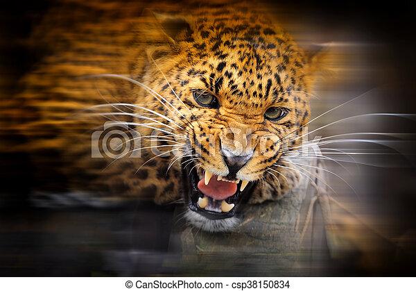 Leopard portrait on dark background - csp38150834