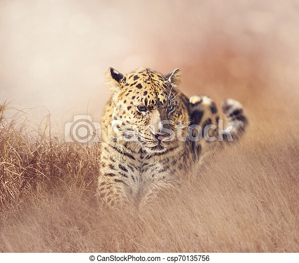 Leopard resting in the grass - csp70135756