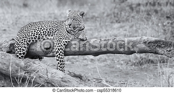 Leopard resting on a fallen tree log rest after hunting artistic conversion - csp55318610