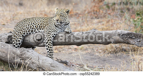Leopard resting on a fallen tree log rest after hunting - csp55242389