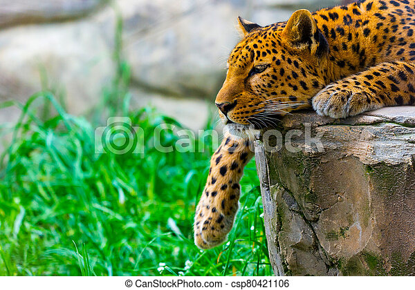 Leopard resting on a rock - csp80421106