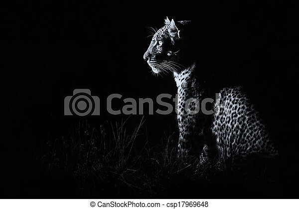 Leopard sitting in darkness hunting prey artistic conversion - csp17969648