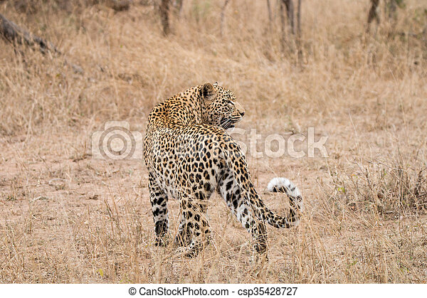 Leopard standing in the grass - csp35428727