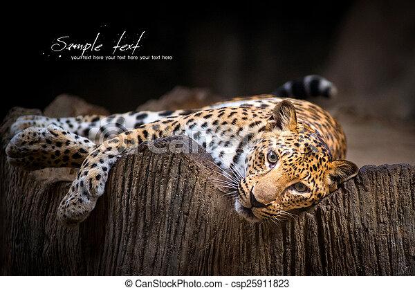leopard - csp25911823