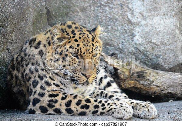 Leopard - csp37821907