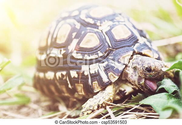Leopard Tortoise Geochelone Pardalis Eating Green Leaves