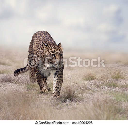 Leopard walking in the grass - csp49994226