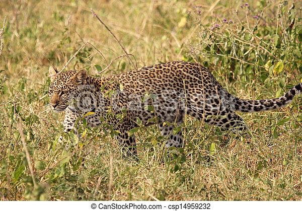 Leopard walking in the grass - csp14959232