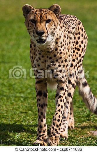 Leopard walking on the grass - csp8711636