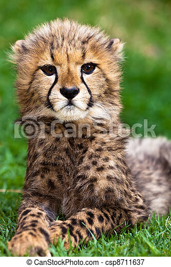 Leopard young lying in the grass - csp8711637