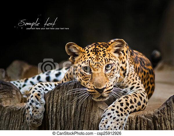 leopardo - csp25912926