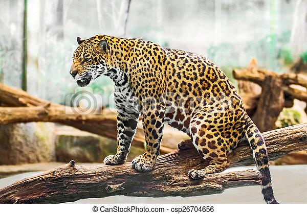 leopardo - csp26704656