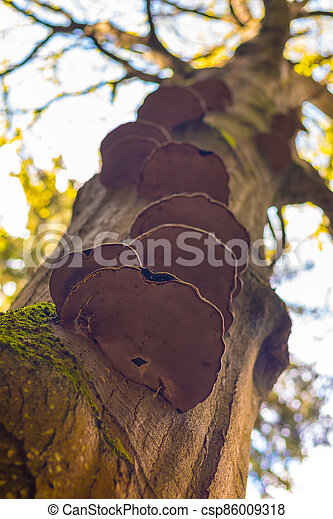 les, polyporus, -, strom, houba, kufr - csp86009318