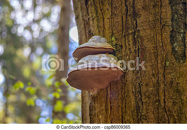les, polyporus, -, strom, houba, kufr - csp86009365