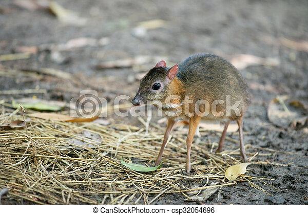 lesser mouse deer - csp32054696