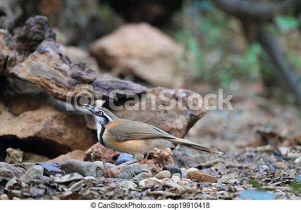 Lesser Necklaced Laughingthrush Garrulax Monileger In Thailand