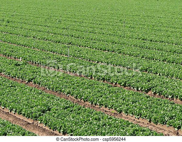 lettuce farm rows - csp5956244