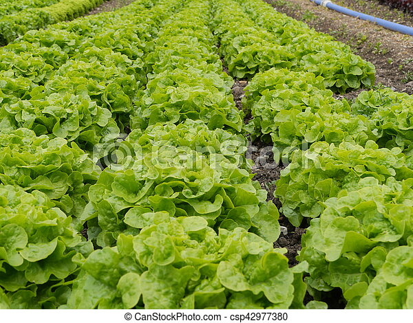 Lettuce garden Rows of fresh lettuce plants on a field pictures