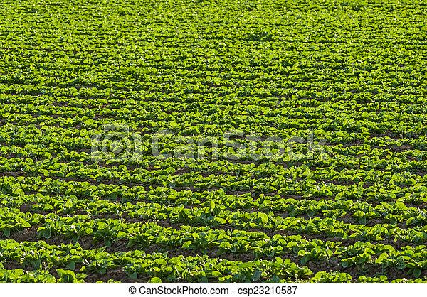 Lettuce Growing In Field - csp23210587