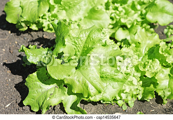 lettuce growing - csp14535647