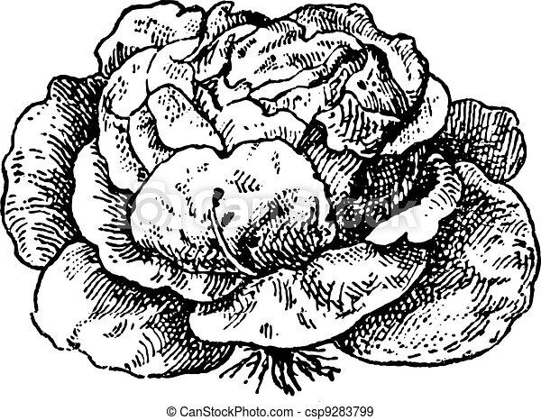 Lettuce (Lactuca sativa), vintage engraving. - csp9283799