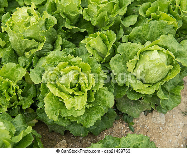 lettuce plant in field - csp21439763