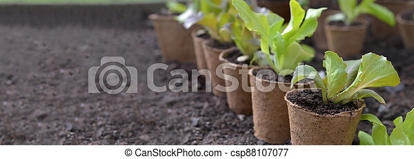 lettuce seedling growing in a peat pot and placed in the dirt of a garden with empty space at the left on dirt background - csp88107077