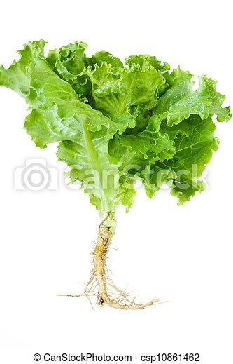 Lettuce. - csp10861462