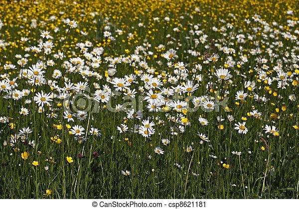 Leucanthemum vulgare - Oxeye daisy - csp8621181
