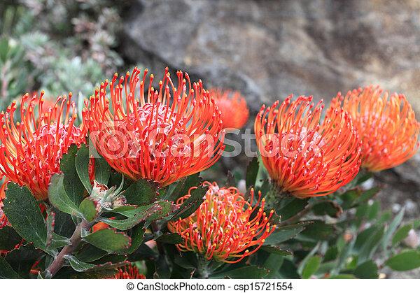 Leucospermum - Pincushion Protea - csp15721554