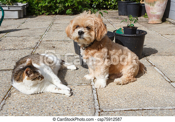 Lhasa Apso dog and cat in a garden - csp75912587